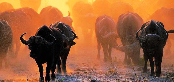 buffalo-herd-sunset-krugerpark-590