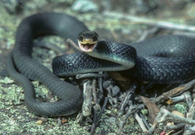 750xauto-5-ular-berwarna-hitam-pekat-ini-keren-tapi-bikin-merinding-160811y